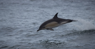 Colon Dolphin in the Air
