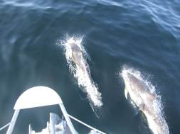 Dolphins on the bow