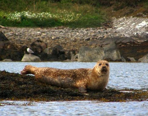 Ginger Seal :)
